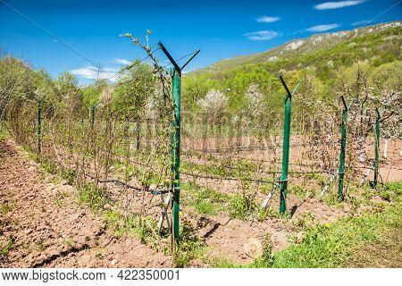 Wine estate vineyard plantation system with grape vines and plants rows.Plantation with green grapes on trellis formation, used for viticulture vineyard production in Sarajevo, Bosnia and Herzegovina.