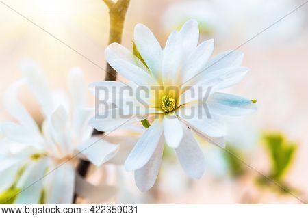 White Magnolia Close Up. White Magnolia Flowering Background. Magnolia Blossom In The Garden In The