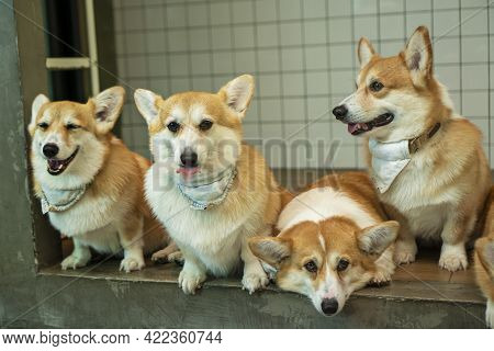 Group Adorable Pembroke Welsh Corgi Puppy Looking At Owner While Sitting Together At Home. Friendly