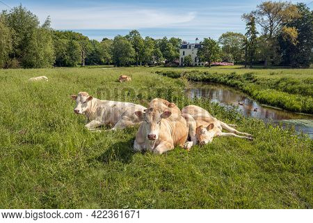 Two Ruminating Cows Next To One Sleeping Cow In The Foreground Of A Dutch Landscape. The Photo Was T