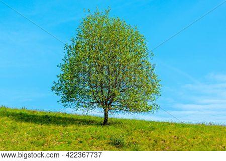 Solitary Tree In Sunny Springtime Grassland With Blue Sky Background