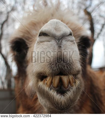 The Shaggy Camel Is A Dangerous Animal Bared Its Teeth On Its Muzzle Bites With Its Fangs
