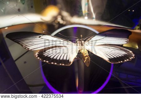 Butterfly With Spreaded Wings Is Pinned With Entomological Pin. Entomology And Collecting
