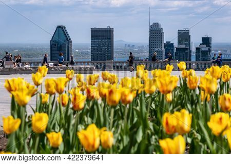 Montreal, Ca - 14 May 2021: Yellow Tulips Blooming At Top Of Mount Royal, Montreal Skyline In Distan