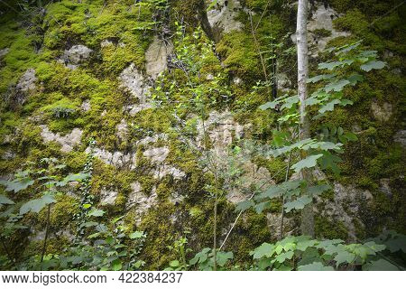 Moss Growing On A Boulder In A Shady Area Of Woodland In Late May Near The Village Of Merso Di Sopra