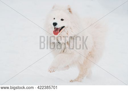 Happy Funny Samoyed Dog Or Bjelkier, Smiley, Sammy Playing Running Outdoor In Snow, Winter Season. P