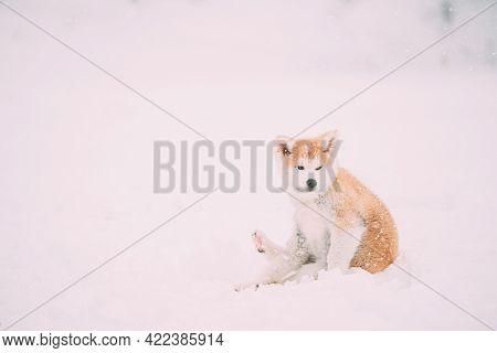 Beautiful Puppy Of Akita Dog Or Akita Inu, Japanese Akita Itches In Snow Snowdrift At Winter Day.
