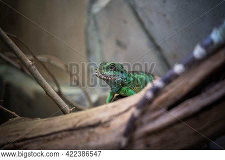 Portrait Of An Incredibly Beautiful Colorful Agama, Incredible Wildlife