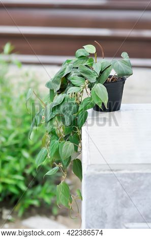 Araceae, Black Gold Philodendron Or Linden And Andre Or Philodendron Melanochrysum