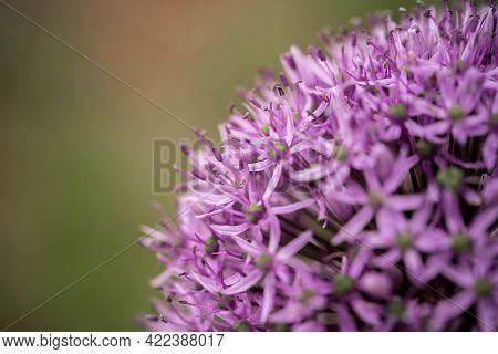 Allium Blooms Incredibly Beautifully, Selective Focus, Incredible Wildlife