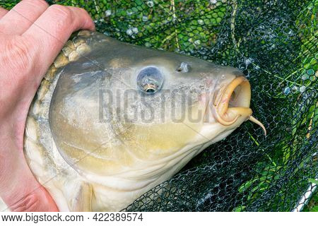 Close-up View Of A Carp Head, A Caught Carp Lying In A Landing Net On The Grass