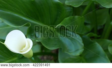 White Calla Lily Flower And Dark Green Leaves. Elegant Floral Blossom. Exotic Tropical Jungle Rainfo