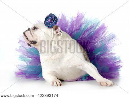 Spoiled Dog - English Bulldog Dressed Up Wearing A Tutu Isolated On White Background