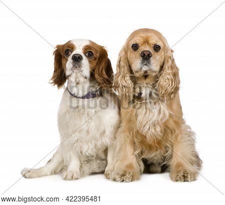 Cocker Spaniel (4 Years) And A Cavalier King Charles Spaniel (4 Years) In Front Of A White Backgroun