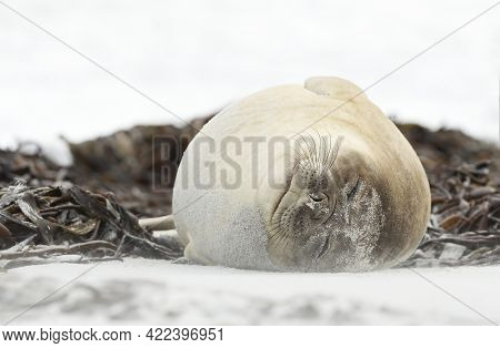 Close Up Of A Southern Elephant Seal Lying On A Sandy Beach On A Coastal Area Of Atlantic Ocean, Fal