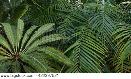 Exotic Jungle Rainforest Tropical Atmosphere. Fern, Palms And Fresh Juicy Frond Leaves, Amazon Dense