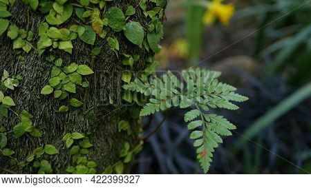 Fern Leaf, Moss And Tree Bark In Forest, California Usa. Springtime Morning Atmosphere, Delicate Tin