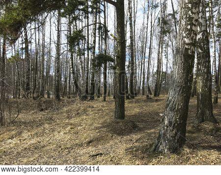 Birch Grove In Early Spring In April
