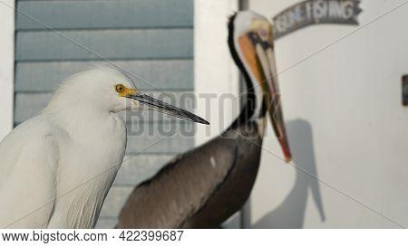 Pelican And White Snowy Egret, Heron On Wooden Pier Railings, Oceanside Boardwalk, California Usa. O