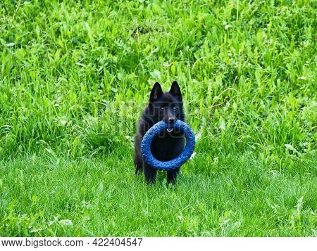 Little Belgian Shepherd Schipperke With A Toy In His Mouth Stands On A Green Lawn.. Bright Sunny Day