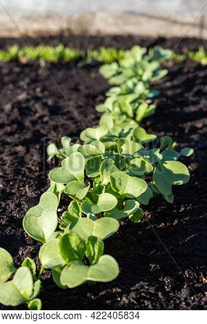 Radish Sprouts Grow In Garden. Vegetables Growing In Rows.