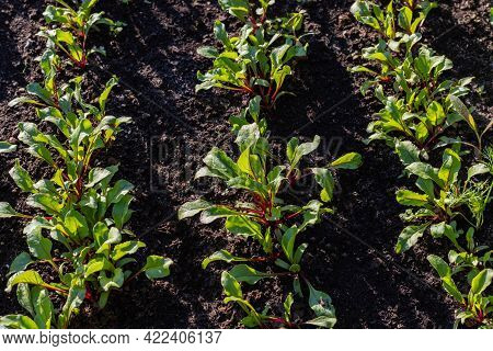 Beetroot Sprouts Grow In Garden. Vegetables Growing In Rows. Community Garden In The Local Park. Cul
