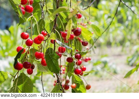 Cherry Berry. Ripe Sweet Cherries Hanging From The Branch Of A Cherry Tree. Tree With Red Berries As