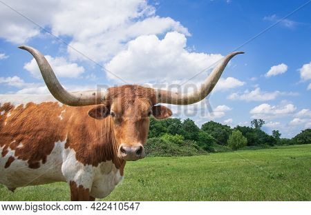 Closeup Of Texas Longhorn In The Spring Pasture. Bright Blue Sky And White Clouds With Copy Space.