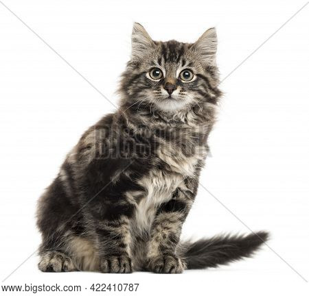 Maine Coon Kitten Sitting In Front Of A White Background Cat Pictures, Cat Eyes, Pictures Of The Mos