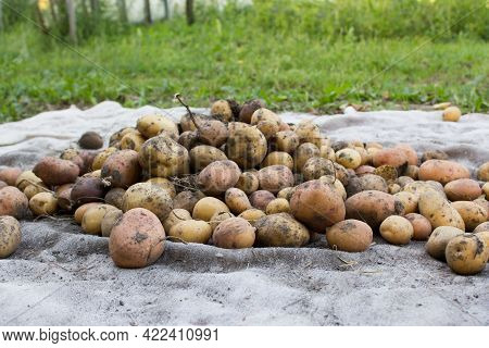 Potatoes, Potato Harvest. Ripe Potatoes Outdoors Background.