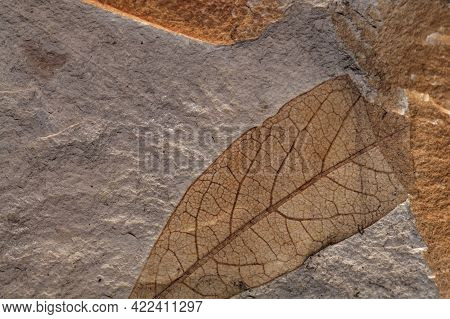 Fossil Leaves On A Limestone Of Tertiary Age From Czech Republic.