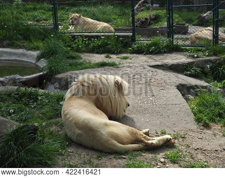 Albino White Lions Rest In The Zoo. Lion Panthera Leo Is A Species Of Carnivorous Mammals, One Of Re