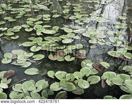 Water Lily Leaves, Known As Lily Pads. Large Cracked And Yellow Leaves Of An Aquatic Plant On The Su