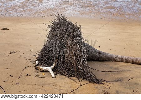 A Fallen Tree Lying On A Sandy Beach After Stormy Weather Eroded The Coastal Shoreline