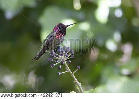Anna's Hummingbird Bird At Vancouver Bc Canada