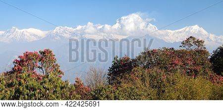View Of Mount Dhaulagiri From Poon Hill View Point And Red Rhododendron, Nepal Himalayas Mountains