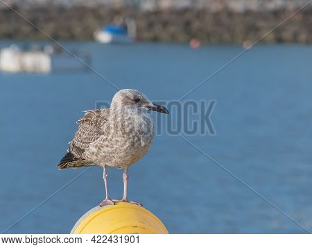 Juvenile Yellow Legged Gull With First Winter Plumage Close Up View Outdoors