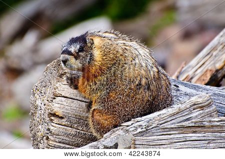 Furry Marmot sitting on a Wooden log yellowstone national park Wyoming. poster