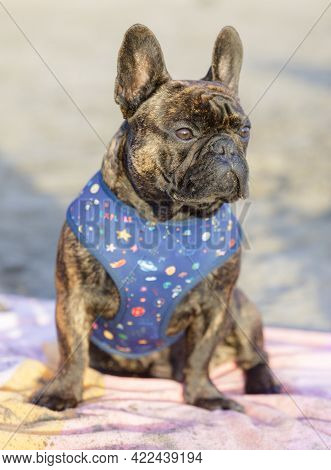 8-month-old Brindle Frenchie Male Puppy Sitting On A Beach Towel And Looking Away. Sandy Beach In No