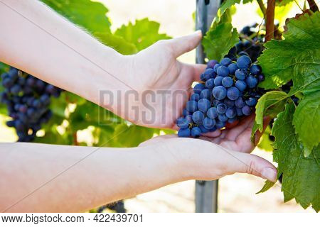 Close-up Of Hands Of Winemaker, Wine Grower Or Grape Picker With Ripe Blue Grapes On Grapevin. Man H
