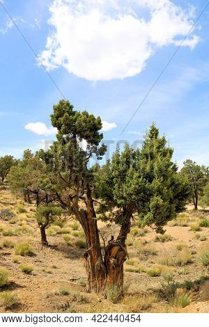 Juniper Tree On The High Desert Plateau With Sage And Chaparral Plants Taken At A Juniper And Pinyon