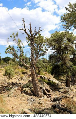 Parched Pinyon Pine Trees Affected By A Prolonged Drought On An Alpine Plateau Taken At A Coniferous