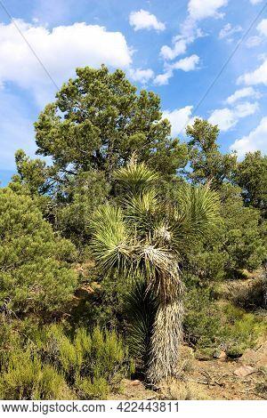Joshua Tree Besides Pinyon Pine Trees Where The High Desert And Mountainous Terrain Meet Taken On An
