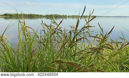 Water Landscape With Cane. Swaying Reeds In Wind By River