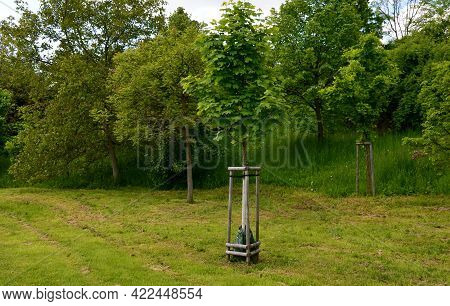 Maple Tree Secured By Wooden Poles  Planting Against The Wind And Using A Watering Bag Dispenses Wat