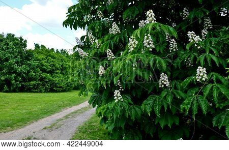 Restoration Of Old Alleys Of Horse Chestnut Trees. Each Historical Path In The Baroque Landscape Had