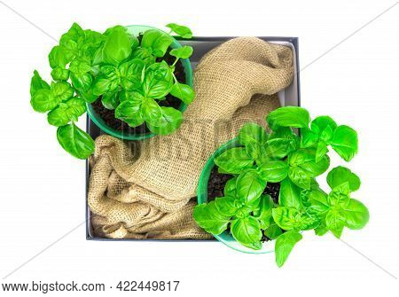 Two Potted Bushes Of Fresh Sweet Basil On A Box With A Sackcloth Isolated On White. Top-view, Copy S