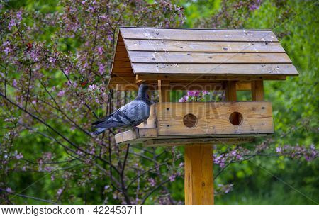 An Ordinary Gray Pigeon Sits On A Wooden Feeder In A Public Park Against The Background Of Flowering