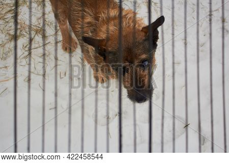 A Poor Yard Dog With Sad Eyes Sits In The Winter Cold On A Chain And Behind Bars. Cruelty To A Dog