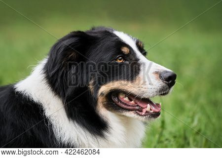 Black And Red And White Collie Portrait In Profile. Portrait Of Tricolor Black Border Collie On Back